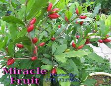 Miracle Fruit (Synsepalum Dulcificum) - 200 Fresh seeds