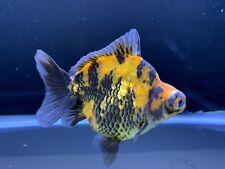 Live Tiger Short Tail Demikin Fancy Goldfish #10 + Video In Descriptions