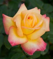 Pianta di rosa PULLMAN ORIENT EXPRESS meilland rosai giardino piante siepe