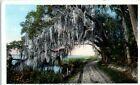 1920s Royal Arch Oak Daytona & Ormond Rd Spanish Moss Florida Landscape Postcard