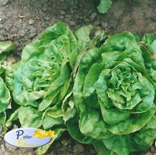 Seeds Lettuce  Mayskaya Koroleva May Queenn Organic Heirloom Vegetable Seed