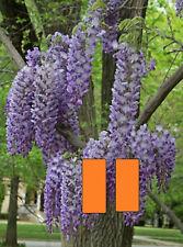 Wisteria sinensis 'Prolific', grafted plant
