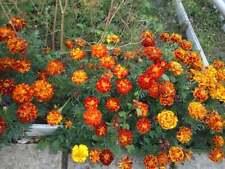 Graines d'œillet d'Inde,herbes,épices, produits de mon jardin, œillet d'INDE bio