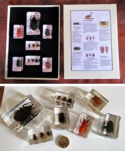 Real insects beetles educational nature - information card & display gift box