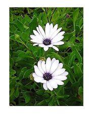 Osteospermum ecklonis / Cape Daisy / 30 Seeds