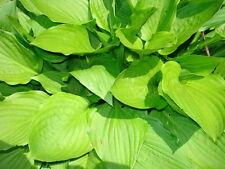 6 Hosta Plants - For Shade - Perennial