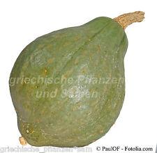 BLUE HUBBARD Kürbis * 8 Samen SEHR SELTEN süß und lecker Speise-Kürbis Zucchini