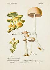 "Dufour's Atlas of Mushrooms - ""HYPHOLOMA FASCICULARE"" - Chromolithograph - 1891"