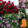 100pcs Escalade Rose Graines Grimpante fleur Parfumé Maison Jardin Balcon Décor
