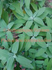 30/180 Seeds Sage Plant Grass Aromatic Antioxidant Heavy Winter