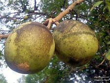 30 seeds Aegle marmelos Correa, Beal Thailand herbs rare