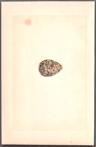 1870 vintage MORRIS bird egg DOTTEREL original woodblock by Fawcett