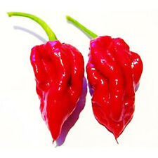 50 Red Ecuadorian DEVIL'S Breath Pepper Seeds Hot TONGUE Chilli S038