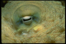 452070 Looking Into The Eye Of A Reef Octopus A4 Photo Print
