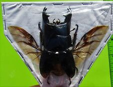 Black Stag Beetle Dorcus alcides Male Spread Ready for Mounting FAST FROM USA