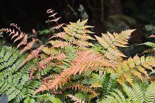 Autumn Fern Radiance - Dryopteris erythrosora 'Radiance' - 4� Pot