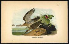 SANDPIPER, Vintage 1890 Chromolithograph, Color Bird Print Antique, 068