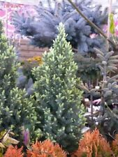 Picea glauca Sun on the Sky in a 9cm pot, potential bonsai subject White Spruce