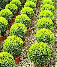 Thuja orientalis.  Arbol de la vida. Tuya oriental. Setos.  200 Semillas - Seeds