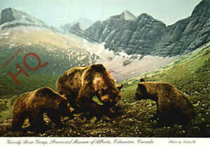 Picture Postcard-:Edmonton, Provincial Museum of Alberta, Grizzly Bear Group