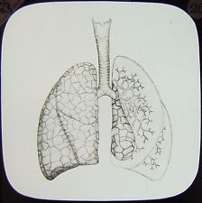 Glass Magic Lantern Slide TRACHEA AND LUNGS C1890 MEDICAL DRAWING HUMAN