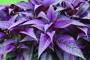 "PERSIAN SHIELD Purple  Starter Plant (STROBILANTHES DYERIANUS) 4"" ROOTING TUBE"