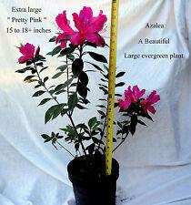 3 Azalea Extra large 15 -18+inches bright pink Southern Charm evergreen shrub
