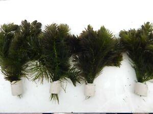 1 Bund  Wasserpflanzen, Teichpflanzen, Ceratophyllum, Hornkraut Aquarium
