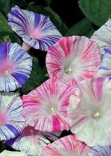 25+ Carnival Mix Morning Glory Ipomoea Flower Seeds / Self-Seeding Annual