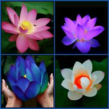 Bonsai Lotus 4 In 1 Seeds Combo Pack: Evening Purple, Pink, Red Heart, Blue Moon
