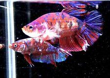 Live Giant Betta Fish Purple Candy 2.5 inch 147
