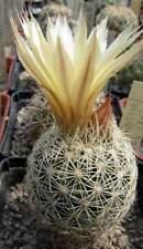Coryphantha echinus SB377,seeds10 pcs