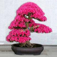 20PCS japonés Sakura semillas de semillas de Bonsai
