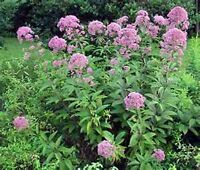 Joe Pye Weed- (Eupatorium Maculatum)- 200 Seeds