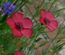 Roter Lein - 100 Samen - Prachtlein - Linum Grandiflorum ,