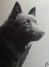 5 rare old Schipperke dog pictures and Breed Article 1975  + UK Kennel Advert