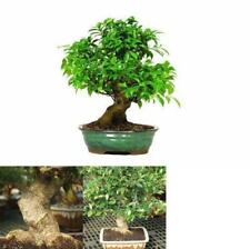 Golden Gate Ficus Bonsai Tree Live Plant Indoor Home or Office 15 years old 16""
