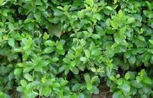 gudmar leaves gymnema sylvestre whole dried indian herb 1kg BEST PRICE
