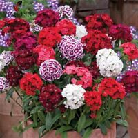 100pcs/bag True America Dianthus Mixed Colour Sweet William Bonsai flower seeds