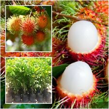 Rambutan Nephelium Lappaceum Tree Plant Grafted Tropical Fruit Thailand 20''