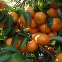 10 Stück Seltene Kumquat Fruchtsamen Exotisch Köstlicher Obstgarten Nahrhaft  N