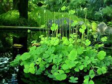 10 Water clover fern Marsilea quadrifolia edible medicinal live aquatic plant