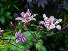 15+ JAPANESE TOAD LILY FLOWER SEEDS, EXOTIC, SHADE LOVING EASY TO GROW PERENNIAL