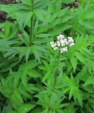 300 Samen Echter Baldrian (Valeriana officinalis), winterhart, Bienenweide, Tee