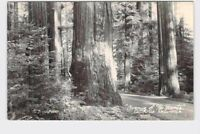 RPPC REAL PHOTO POSTCARD CALIFORNIA REDWOODS AVENUE OF THE GIANTS