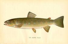 Rare 1892 Antique Denton Fish Print ~ Brown Trout ~ Excellent Details!