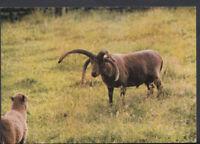 Animals Postcard - Loghtan Sheep, Cregneash Folk Museum    RR3090