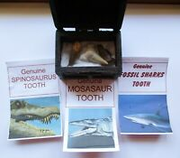 Spinosaurus Mosasaur Shark Fossil tooth in a Treasure Chest Gift Christmas B'day