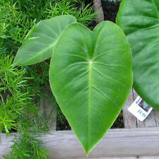 Remusatia hookeriana - 10 Seeds