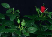 Lentikular -Wackelkarte: Aufblühende rote Rosen - Blooming Red Roses